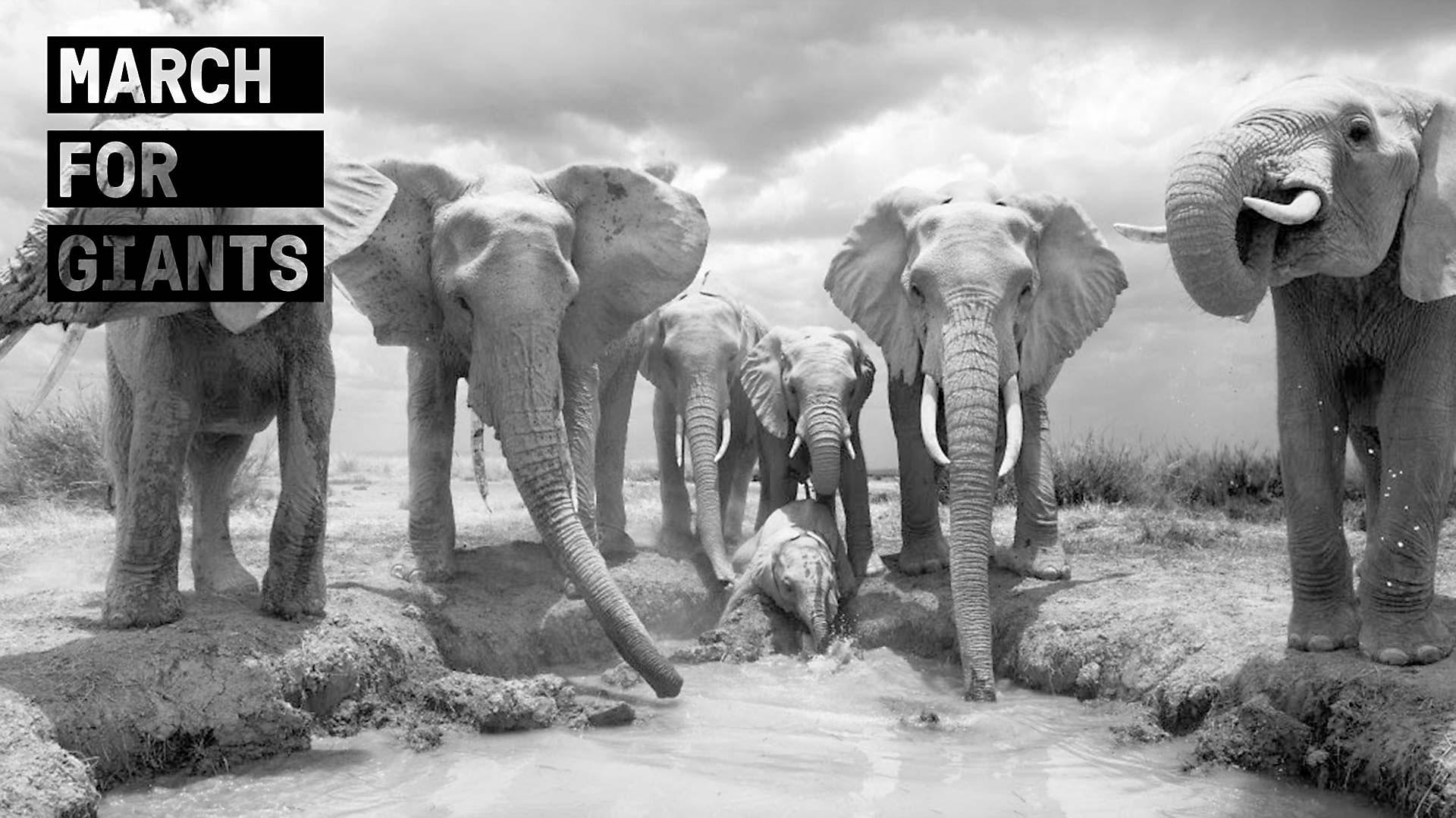 March For Giants launches Global Campaign! The World's first digital campaign to protect African Elephants